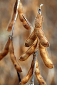 About Us - Soybean before harvest